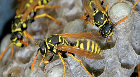 angry-wasps